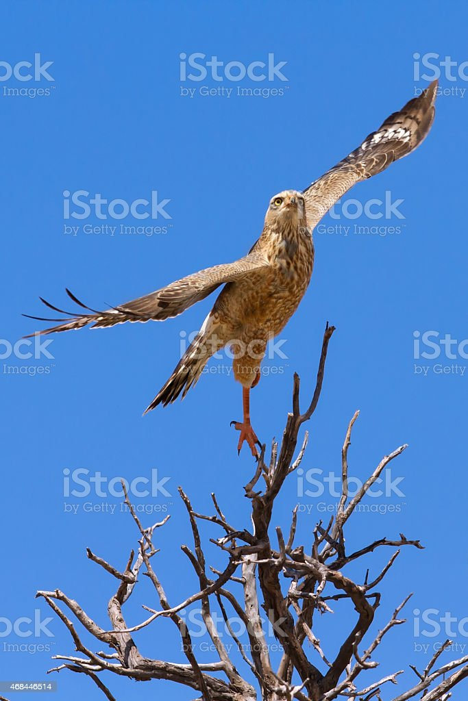 Juvenile pale chanting goshawk takes off from hunting tree perch stock photo