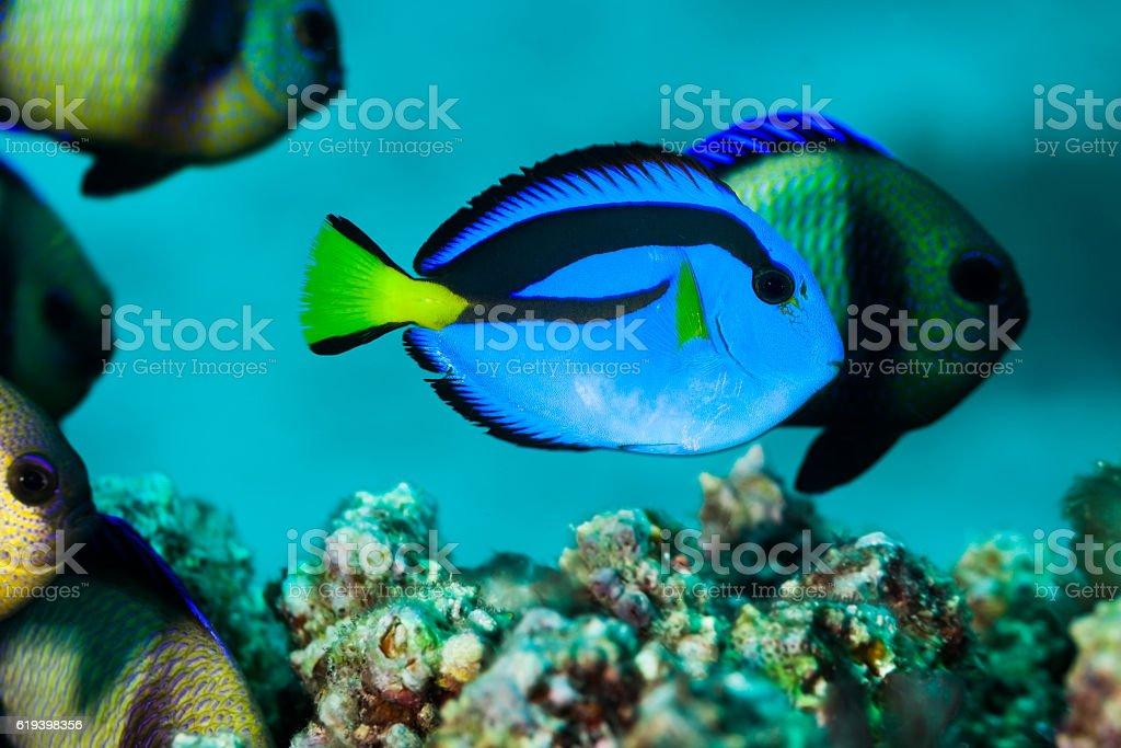 "Juvenile Palette Surgeonfish, ""Finding Dory"", Reticulate Dascyllus, Praslin, Seychelles . stock photo"