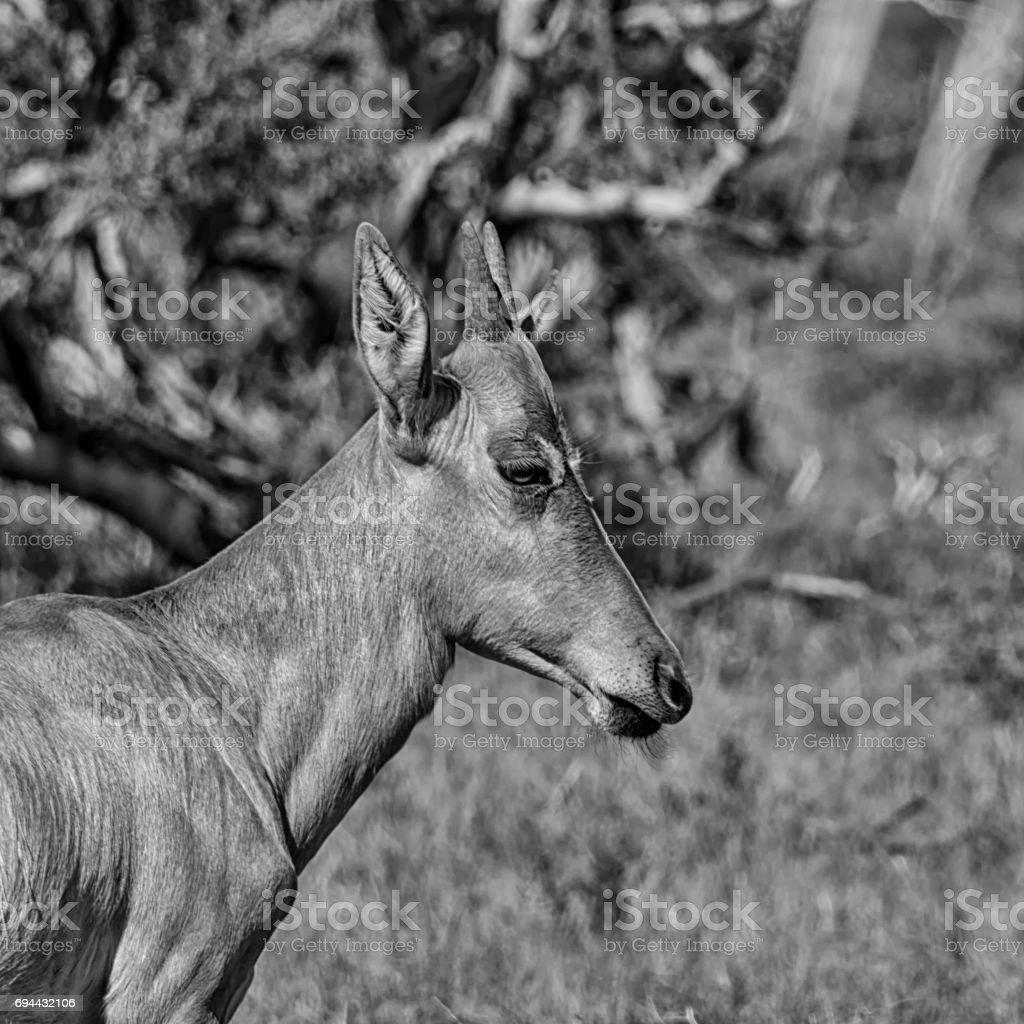 Juvenile Red Hartebeest stock photo