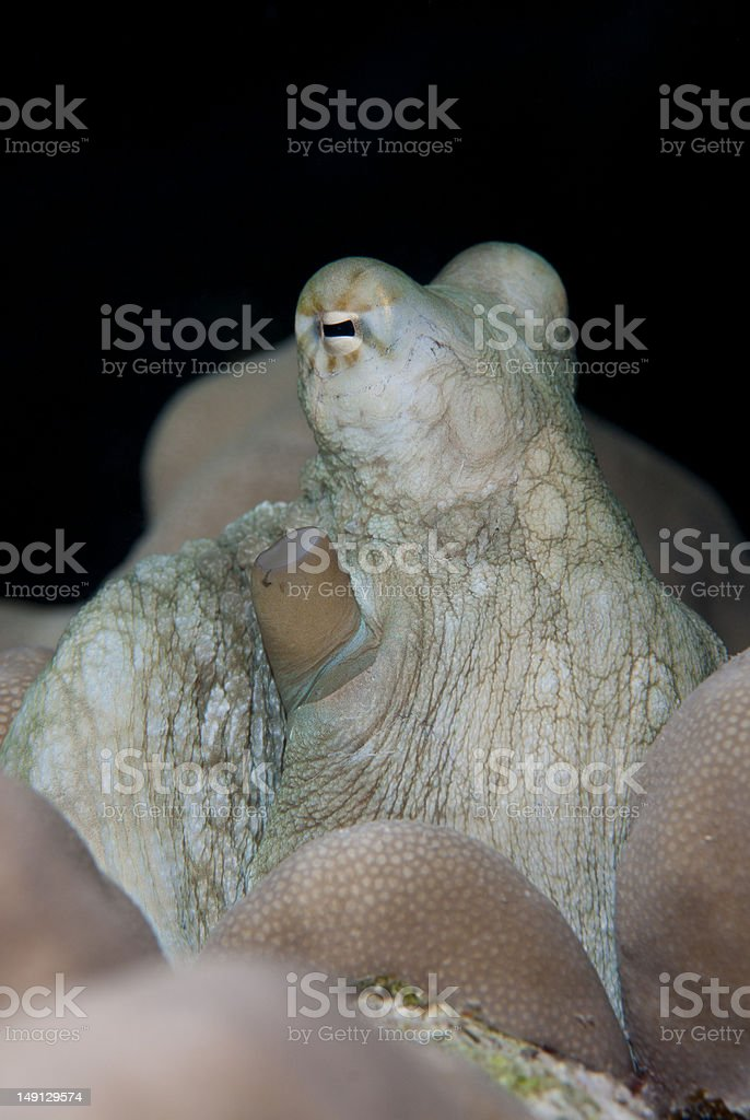 Juvenile Reef Octopus seeking shelter in the reef. stock photo