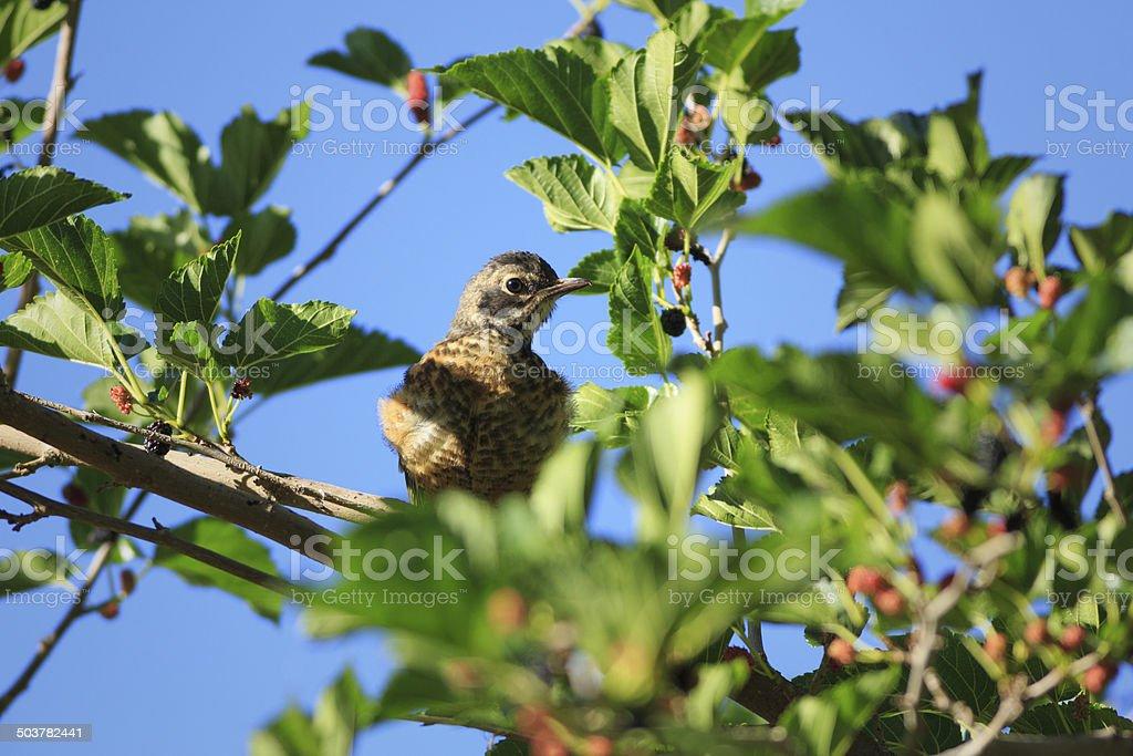 Juvenile Robin royalty-free stock photo
