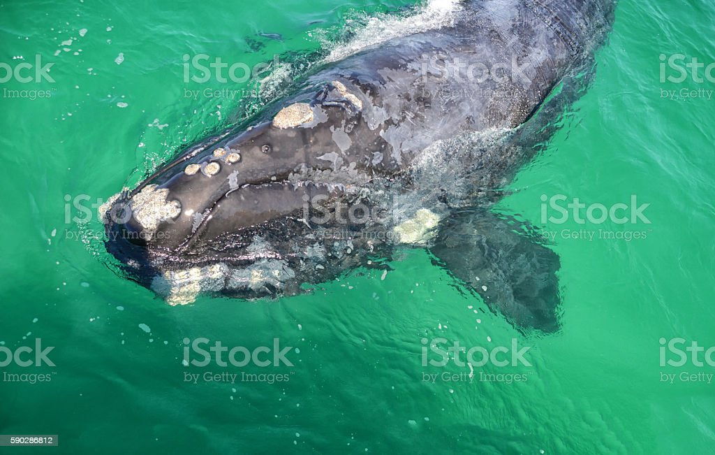 Juvenile Southern Right Whale stock photo