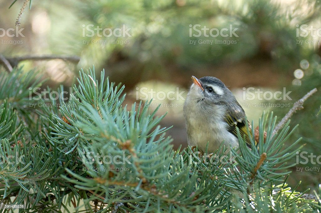 Juvenile tiny golden crowned kinglet Mount Evans Wilderness Colorado stock photo