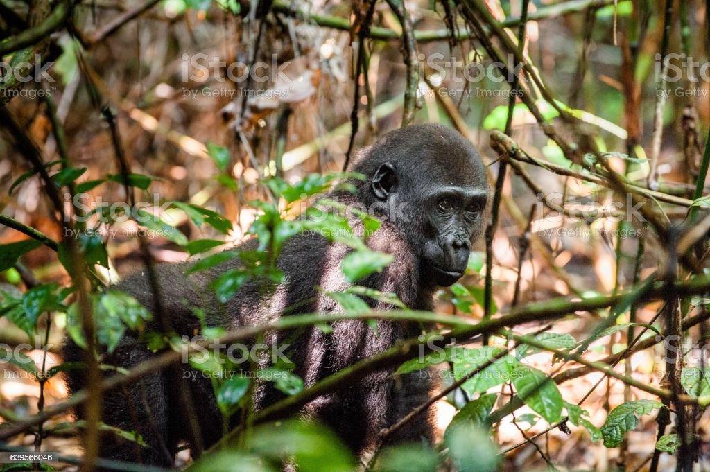 Juvenile Western lowland gorilla stock photo