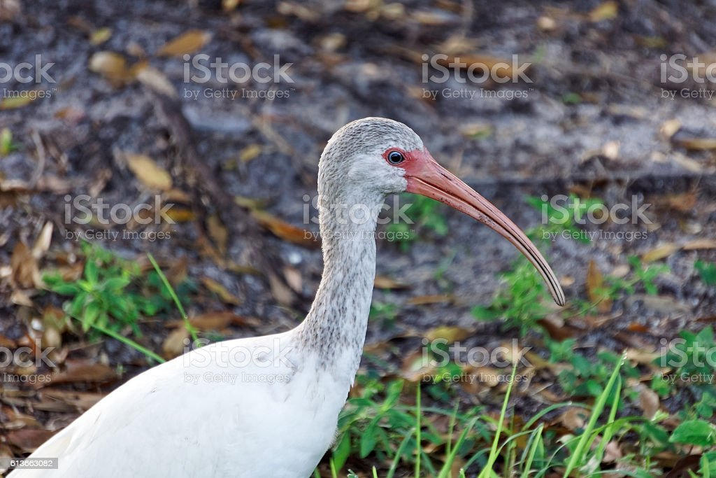 Juvenile White Ibis stock photo