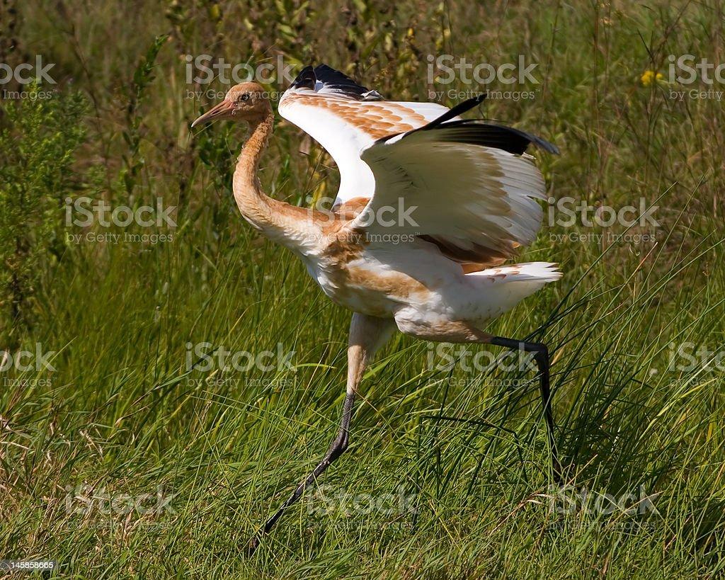 Juvenile whooping crane running stock photo
