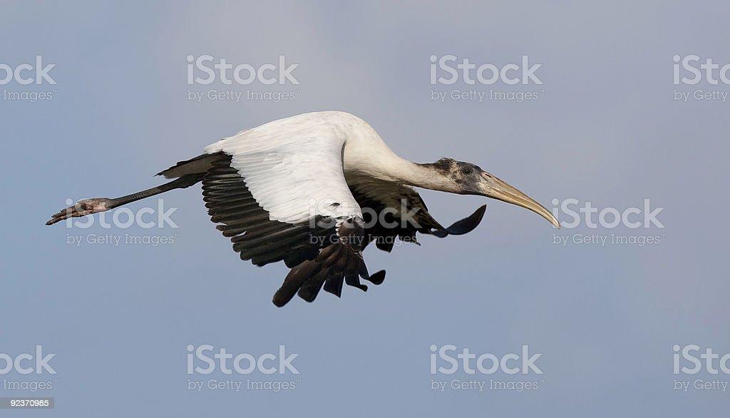 Juvenile Wood Stork in flight stock photo