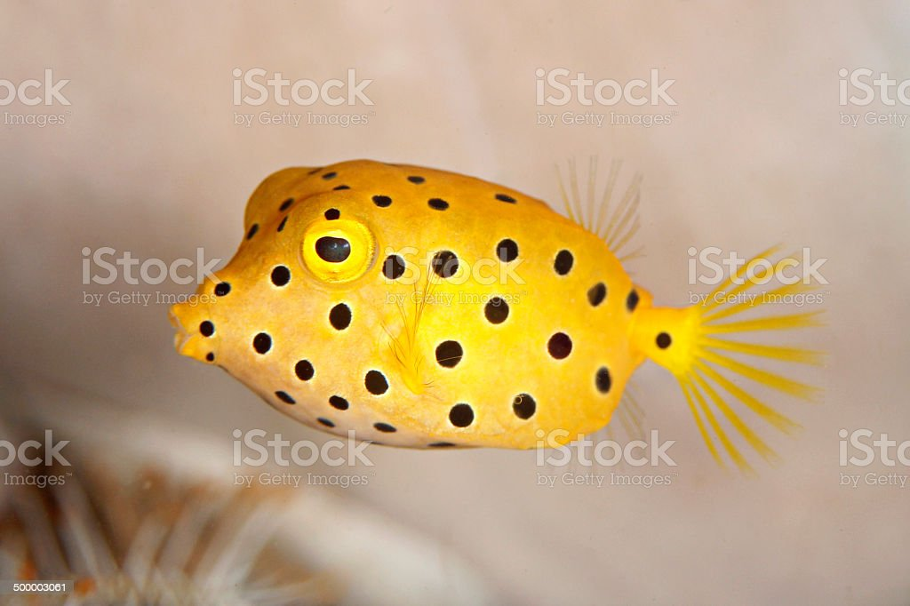 Juvenile Yellow Boxfish stock photo