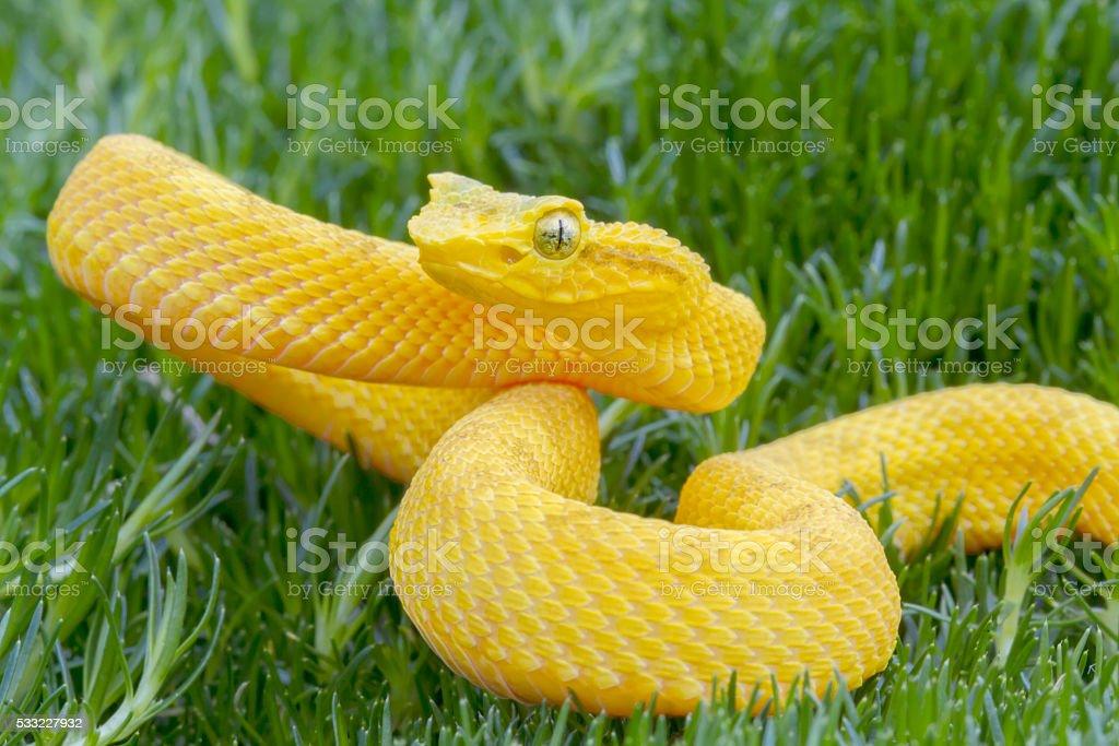 Juvenile Yellow Eyelash Viper coiled to strike! stock photo