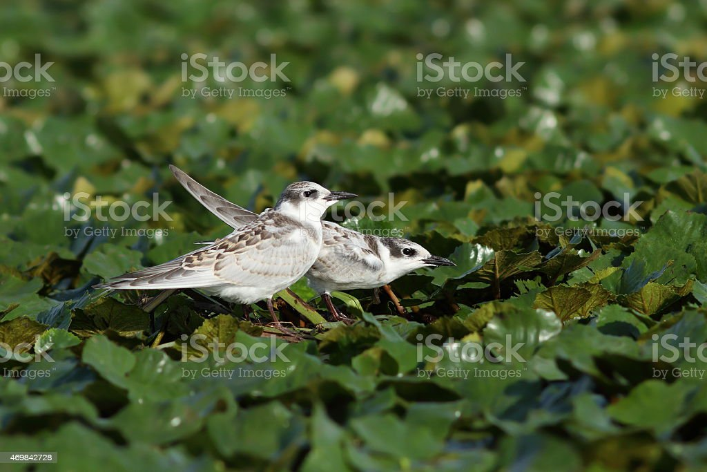 juveniles whiskered tern stock photo