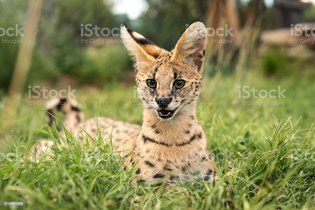 Juvenille serval smiling stock photo