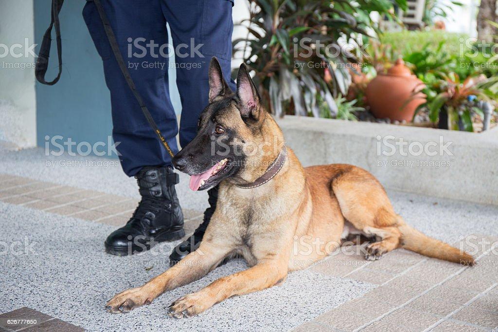 awareness k 9 alsatian dog crouch and looking beside law enforcement...
