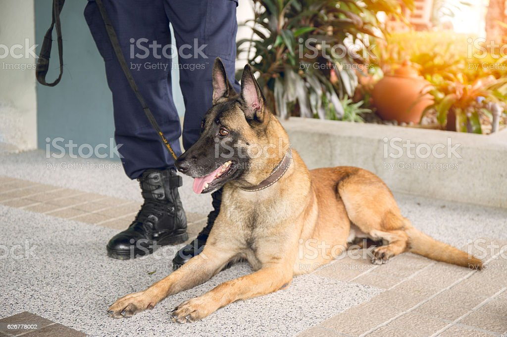 k 9 alsatian dog crouch beside training stock photo