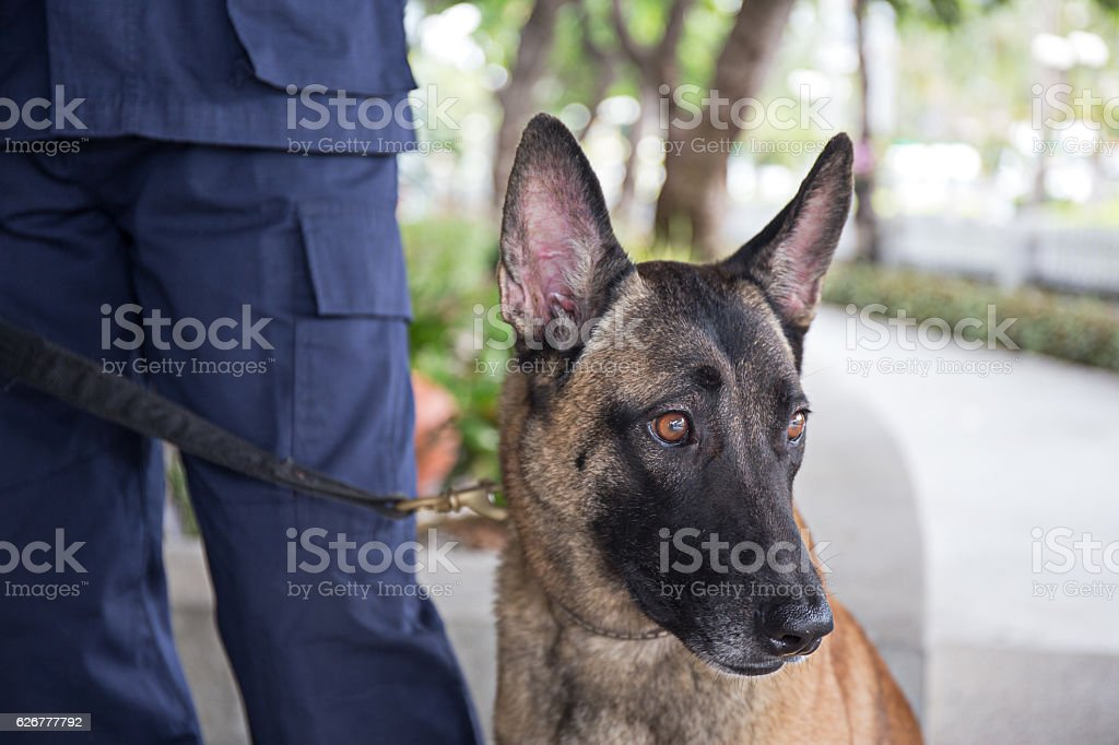 k-9 young german shepherd dog stand beside trainer stock photo