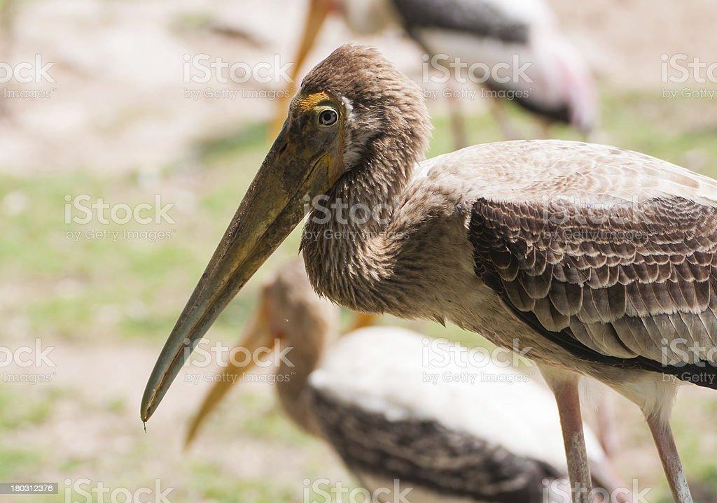 Kabbaw bird Portrait royalty-free stock photo
