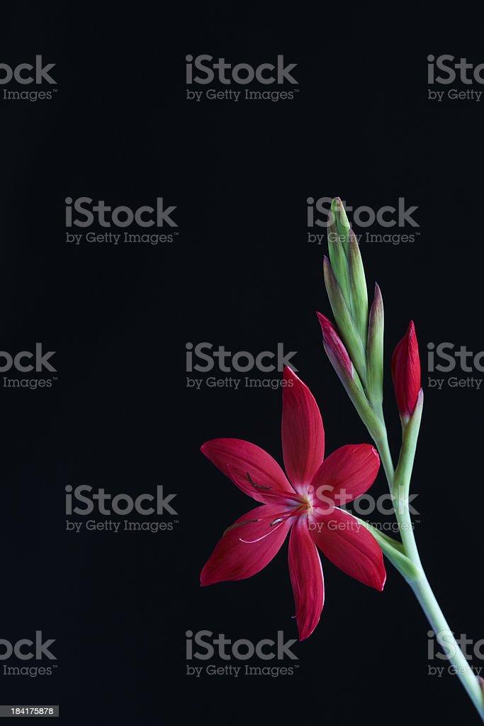 Kaffir Lily stock photo