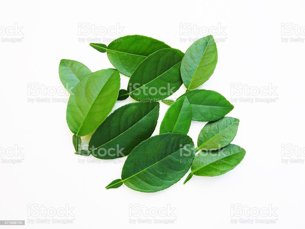 kaffir lime leaves royalty-free stock photo