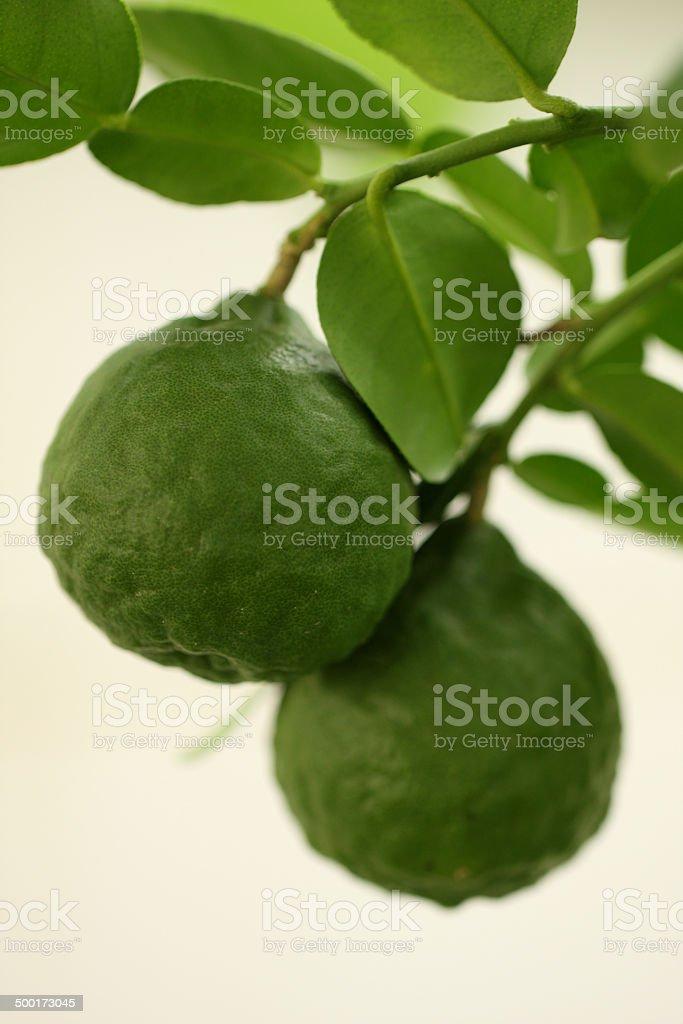 kaffir lime on tree, white isolated stock photo