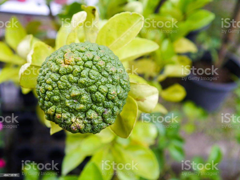 Kaffir lime. stock photo