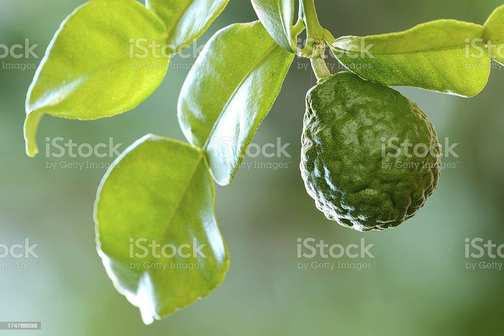 Kaffir lime/bergamot fruit close up stock photo