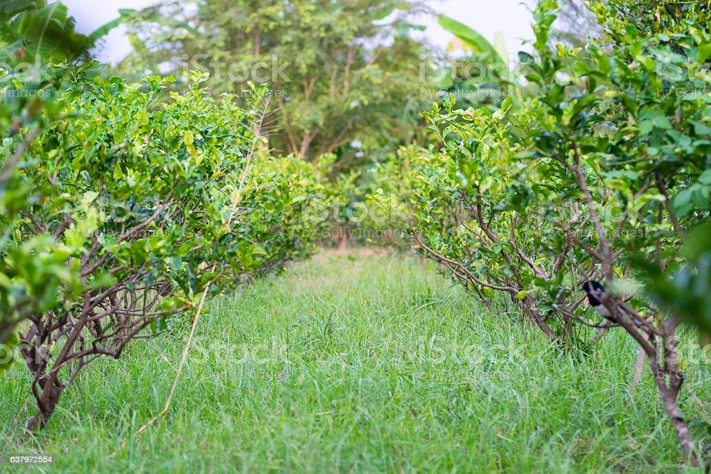 Kaffir lime,Leech lime stock photo