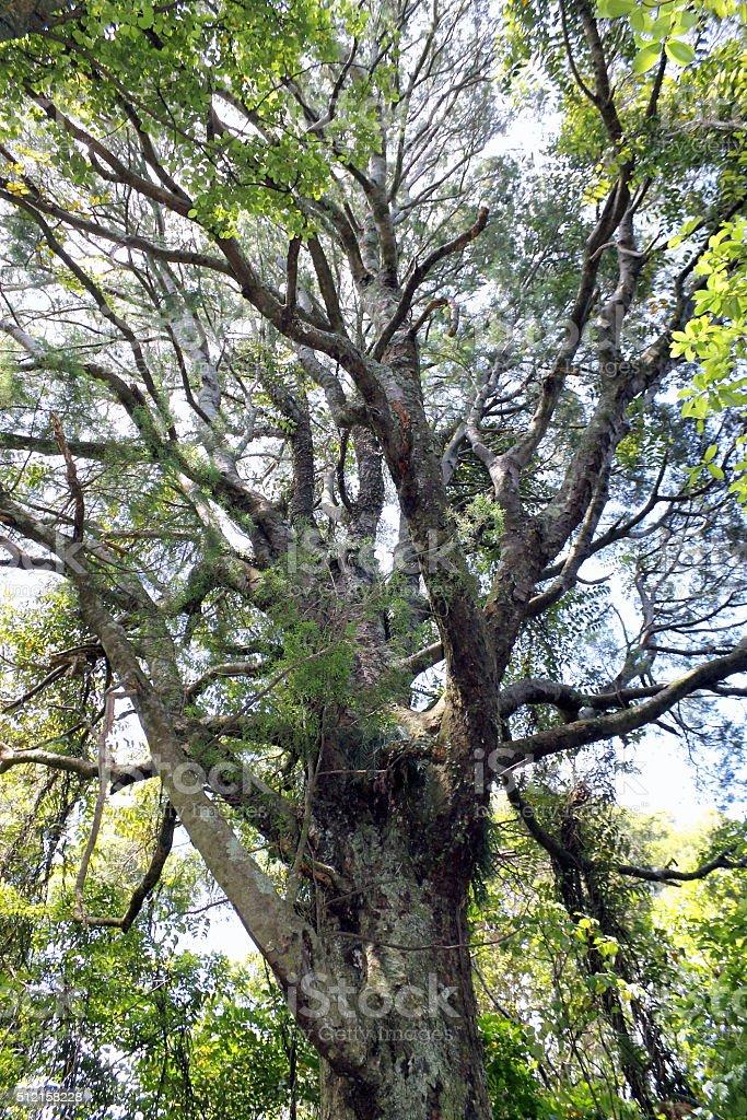 Kahikatea Tree stock photo