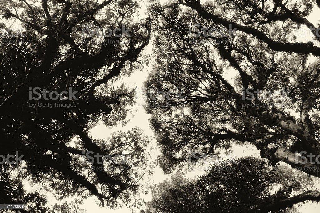 Kahikatea tree tops stock photo