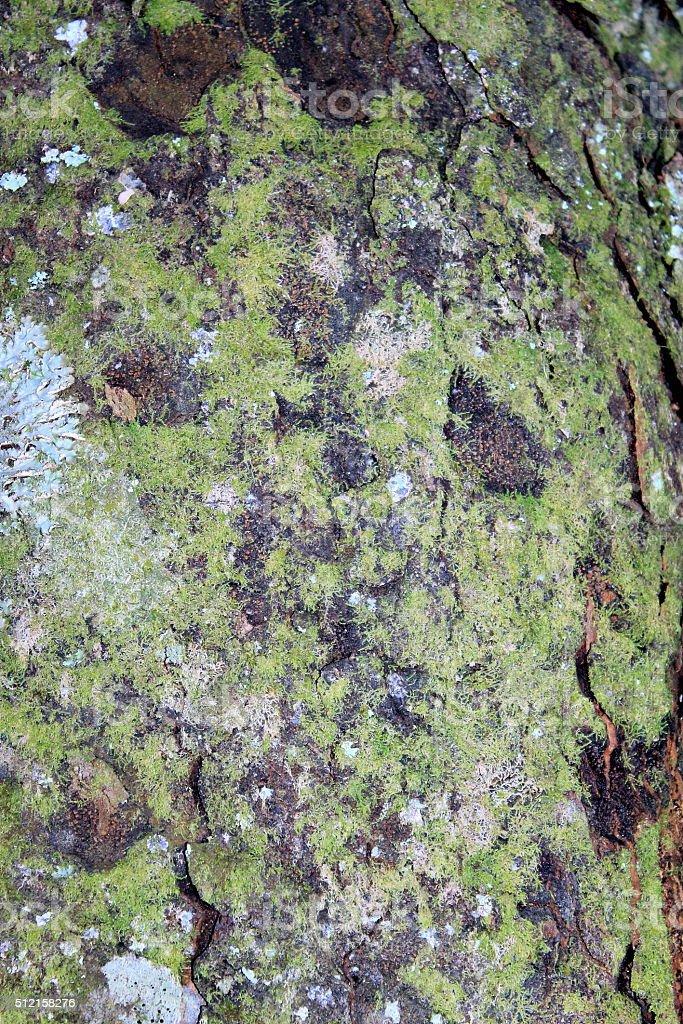 Kahikatea Tree Trunk Bark stock photo