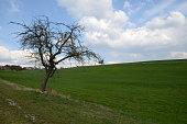 Kahler Baum in der Wiese