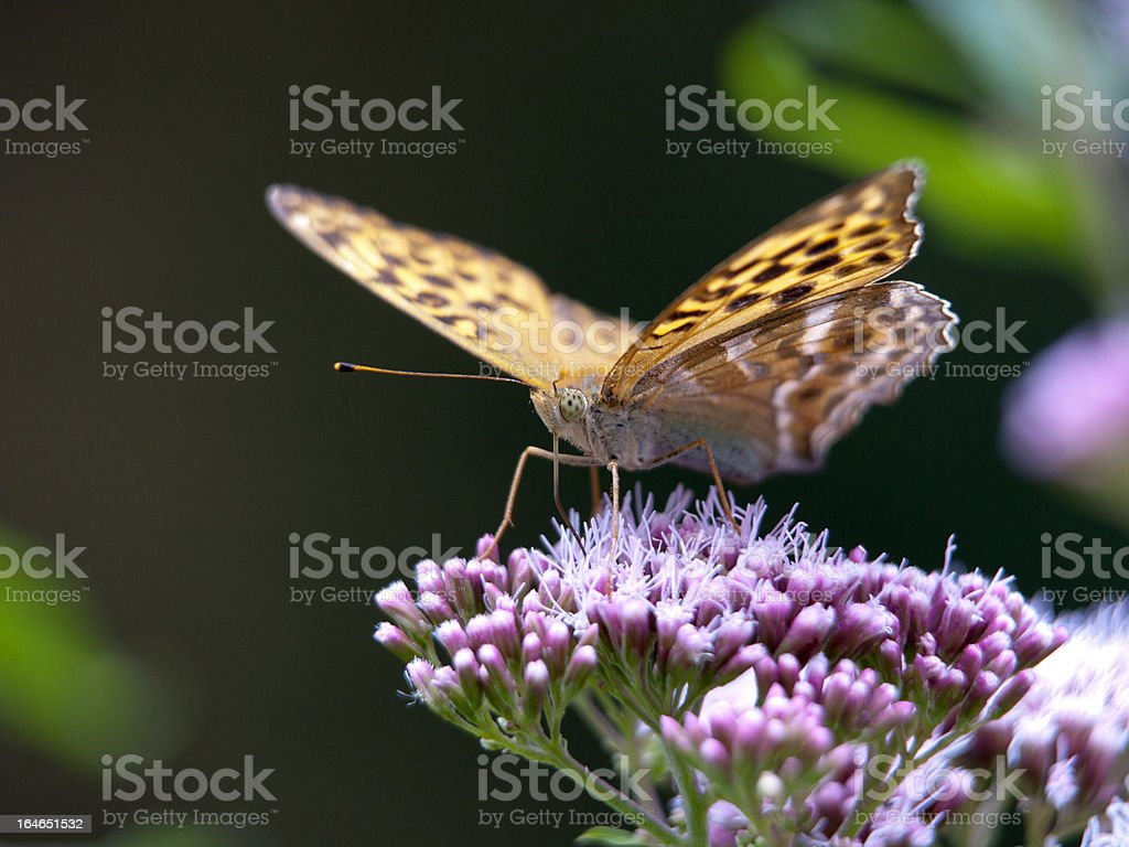 Kaisermantel, Argynnis paphia royalty-free stock photo