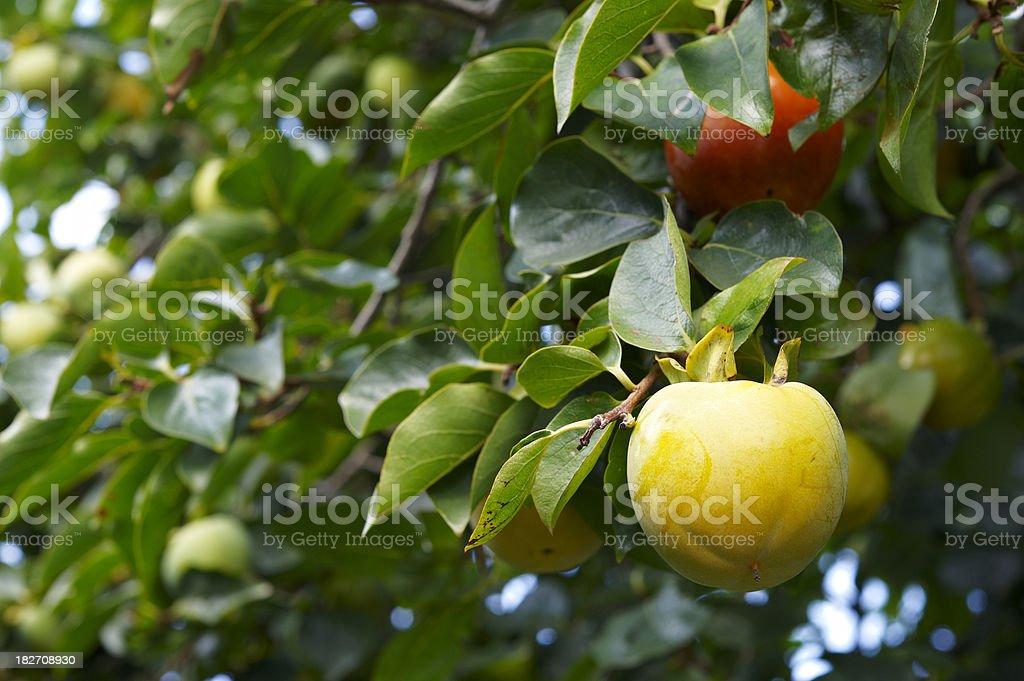 Kaki Fruit stock photo