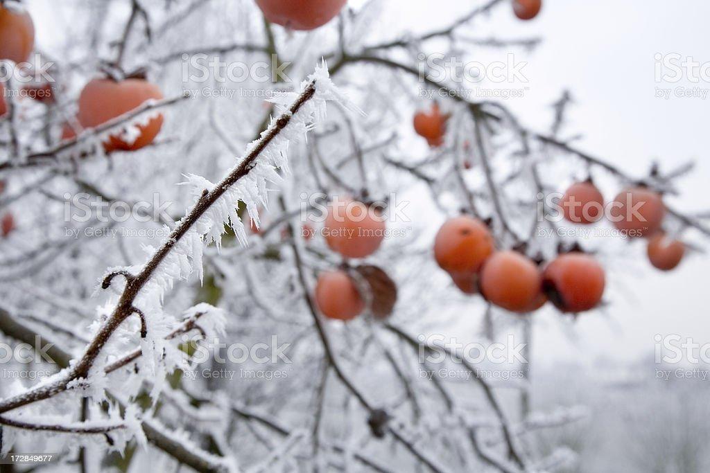 kaki in winter royalty-free stock photo