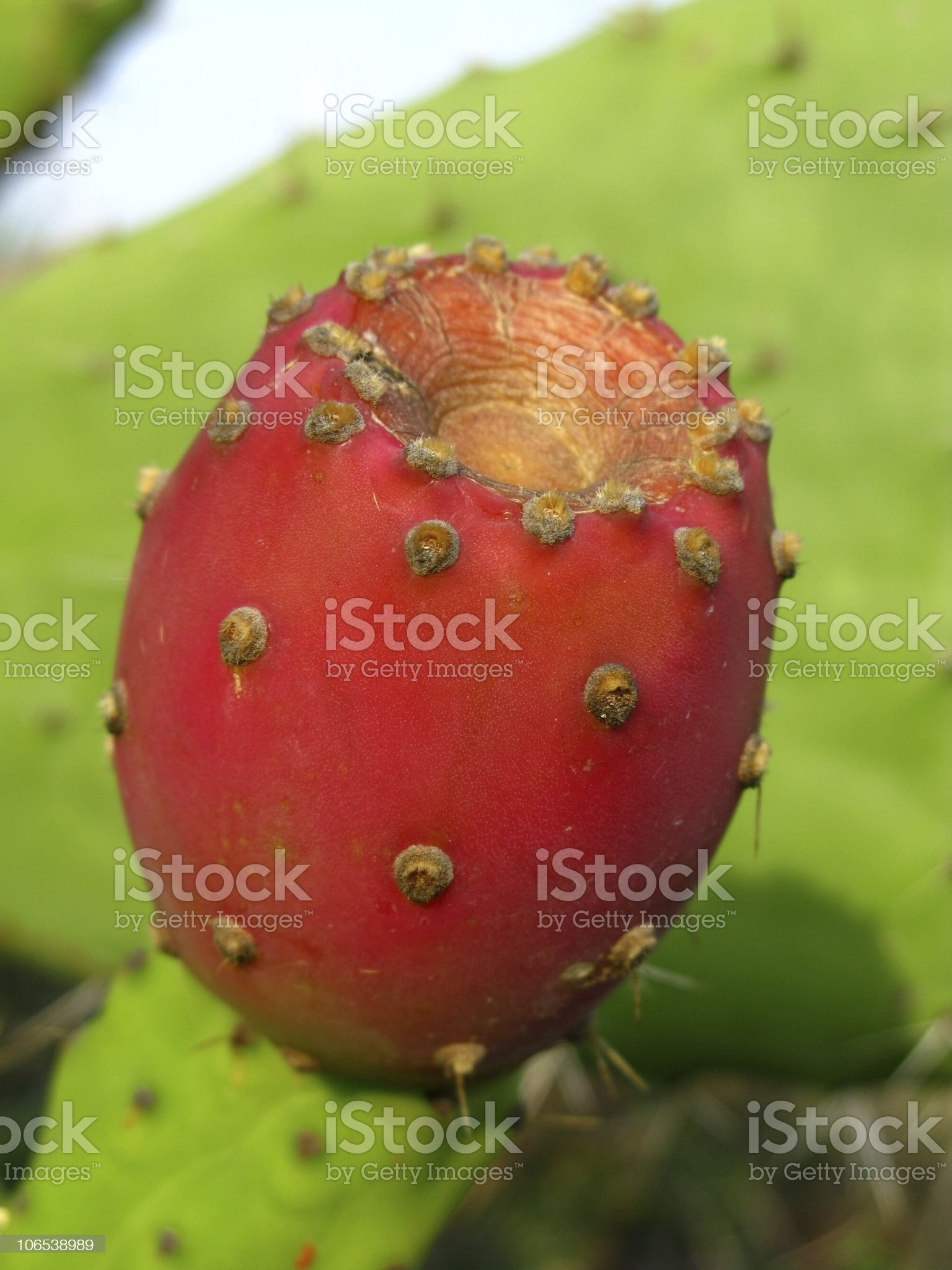 Kaktusfeige royalty-free stock photo