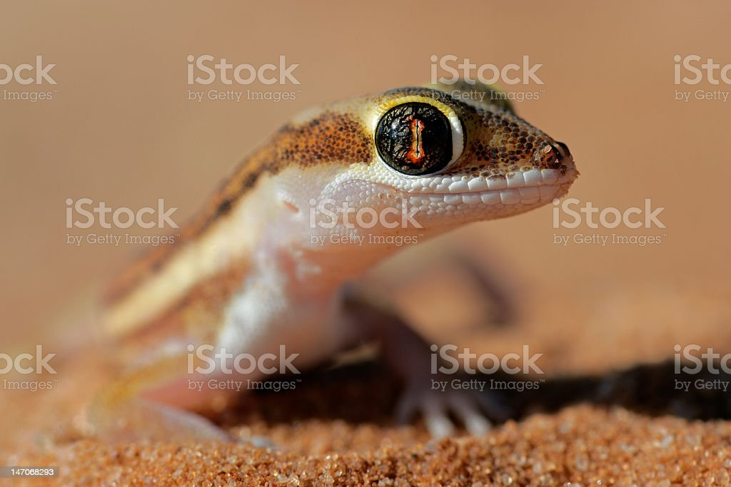 Kalahari ground gecko royalty-free stock photo
