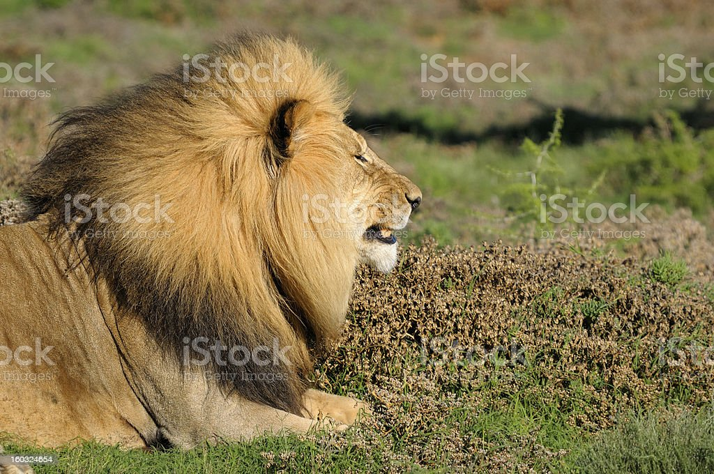 Kalahari lion in the Addo Elephant National Park royalty-free stock photo