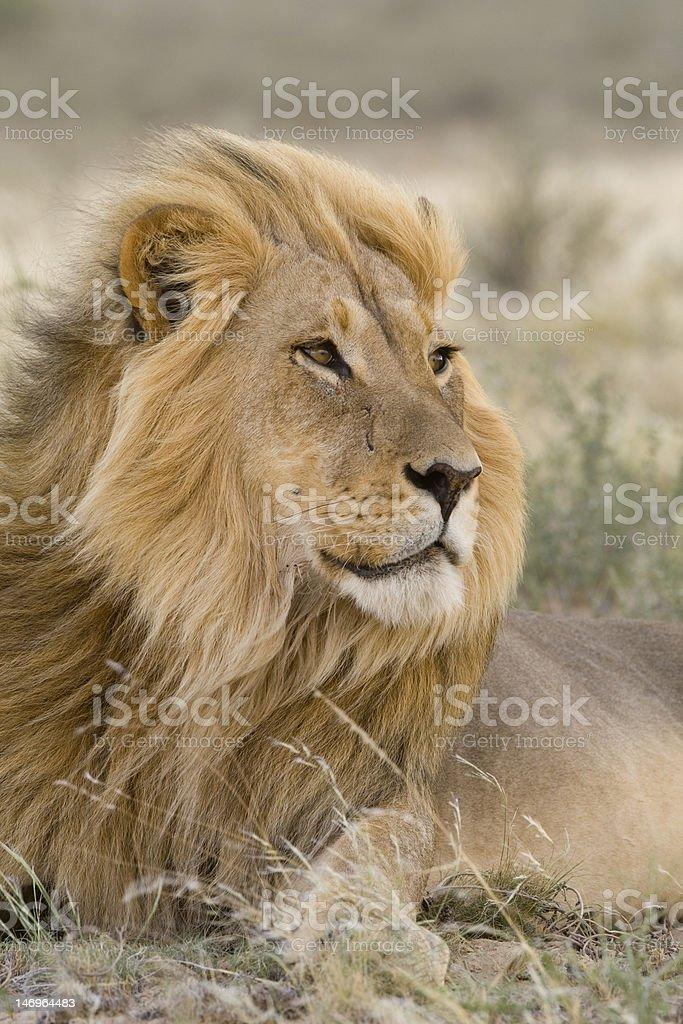 Kalahari lion stock photo
