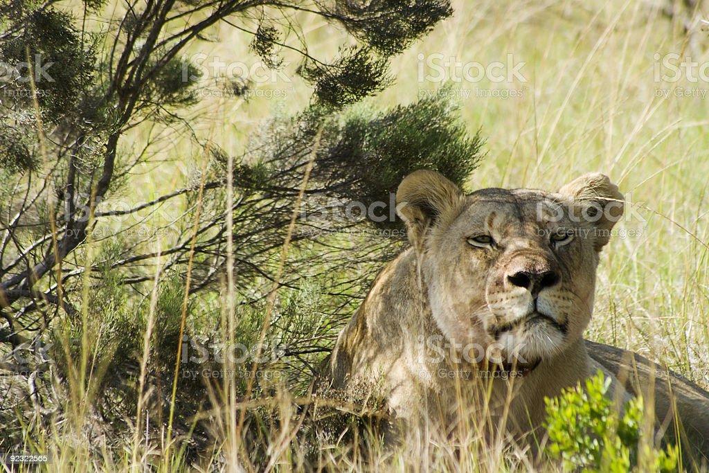 Kalahari Lioness royalty-free stock photo