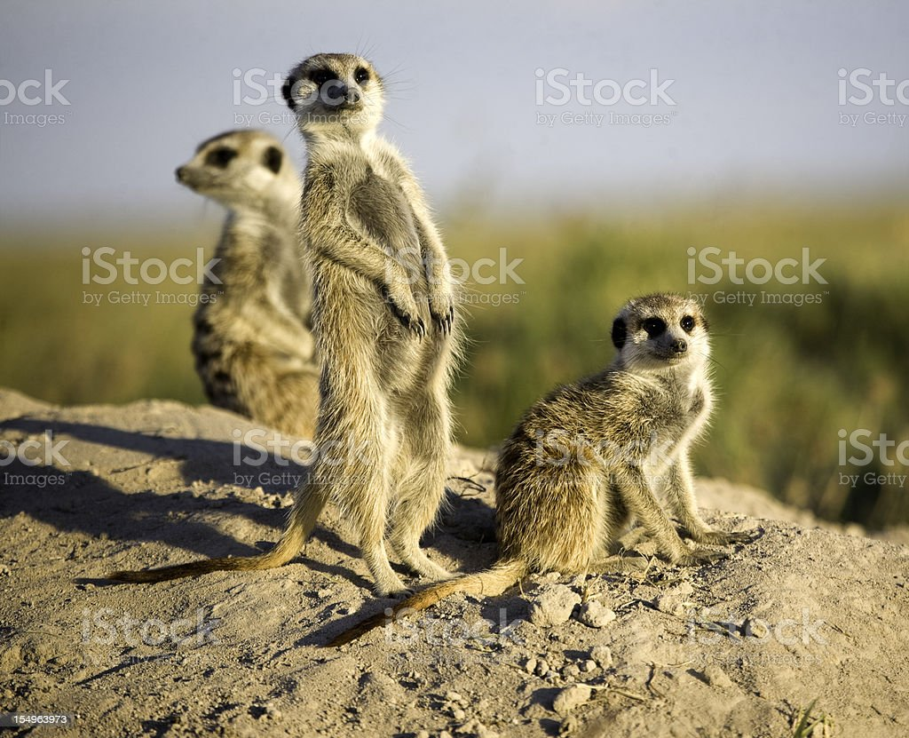 Kalahari Meerkats stock photo