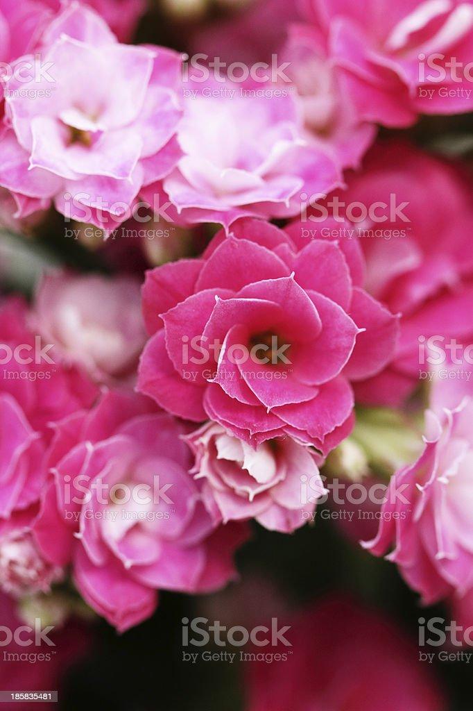 Kalanchoe flower blossoms stock photo