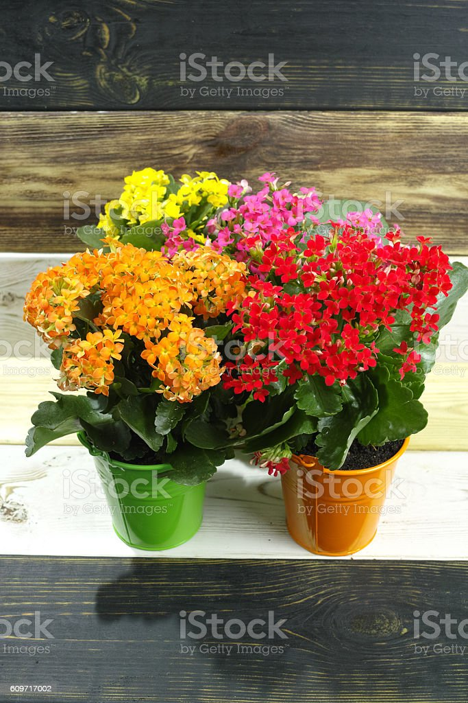 Kalanchoe (Saxifragales Crassulaceae Kalanchoe) flower in small buckets stock photo