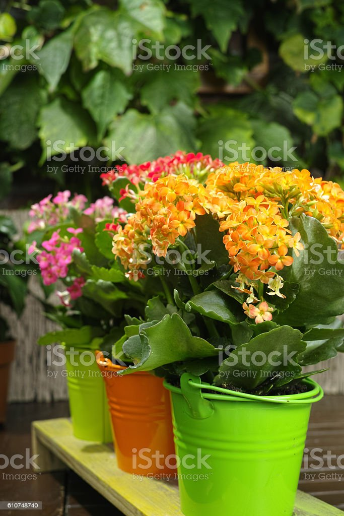 Kalanchoe (Saxifragales Crassulaceae Kalanchoe) flower in small stock photo