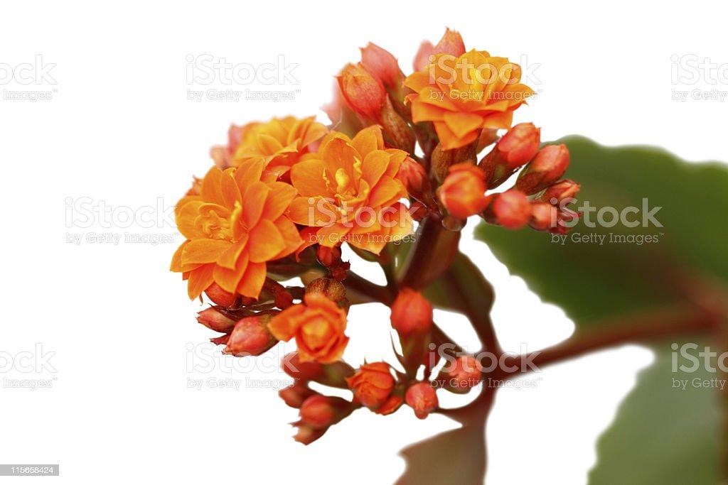 Kalanchoe Flowers stock photo