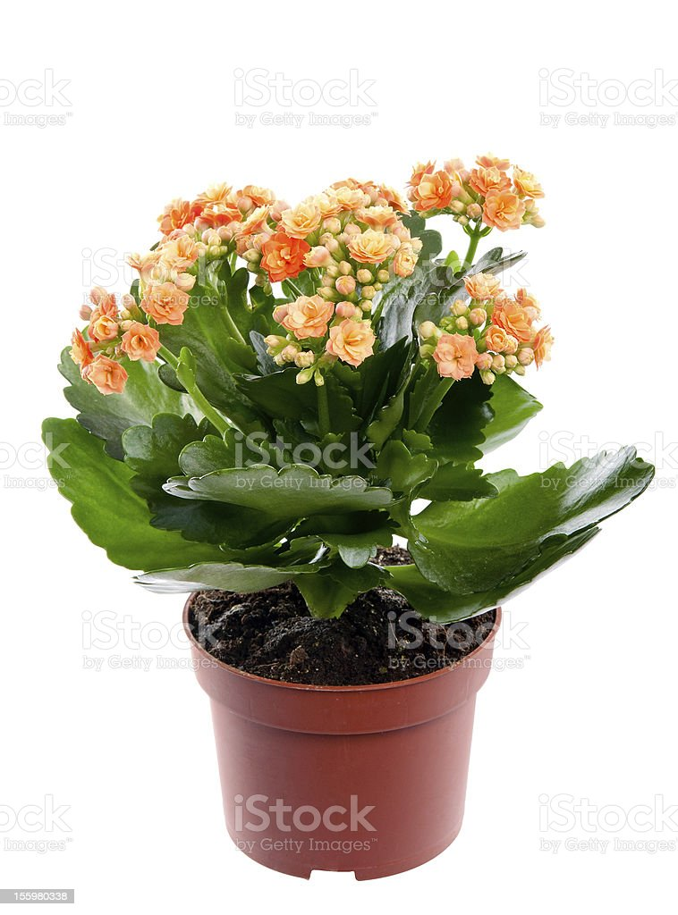 Kalanchoe home flower in a pot. Studio. Isolation. stock photo