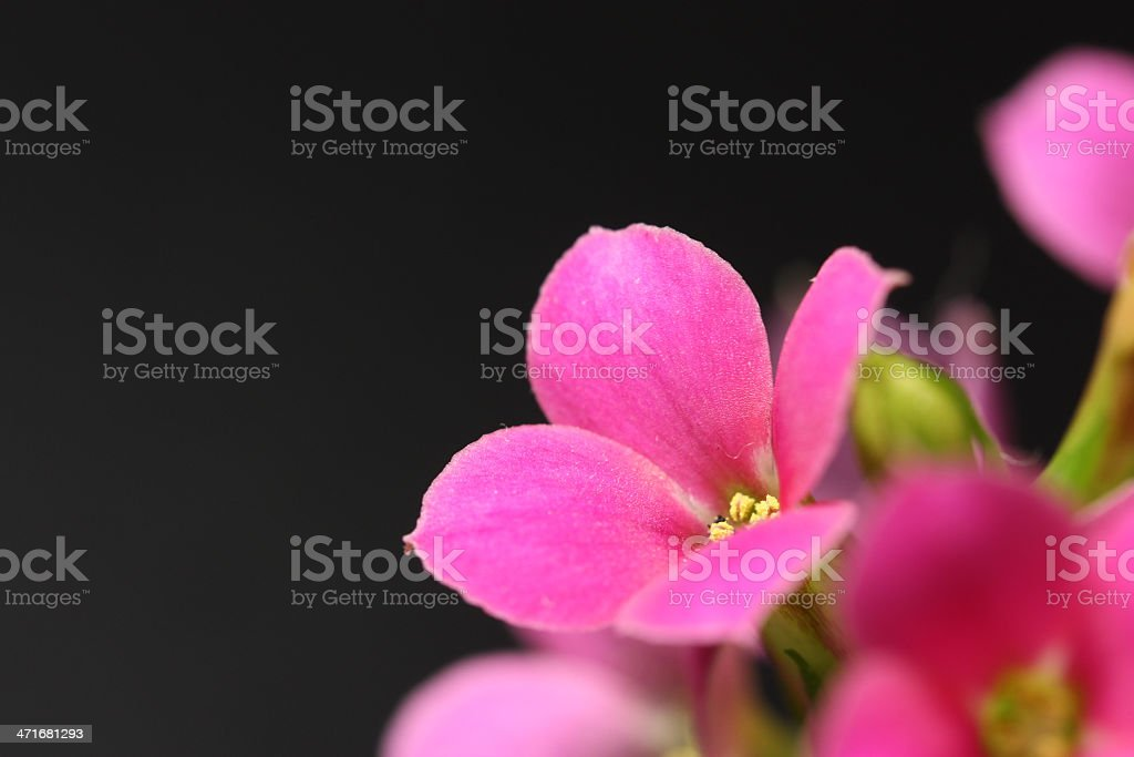 Kalanchoe in Bloom royalty-free stock photo