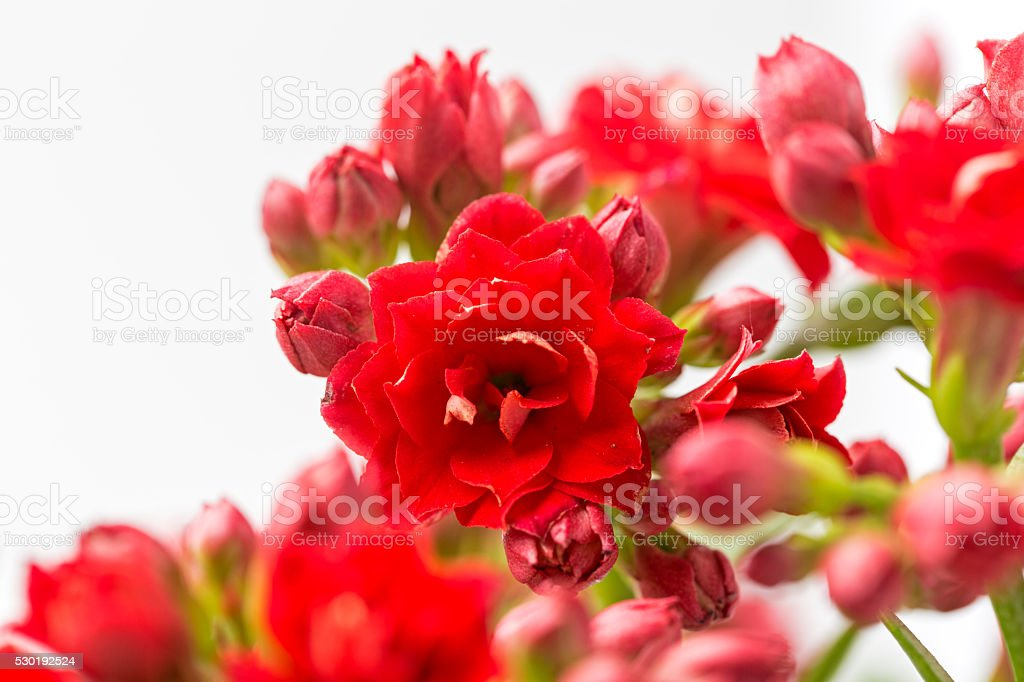 Kalanchoe medicinal plant against cold, infections, rheumatism and inflammation stock photo