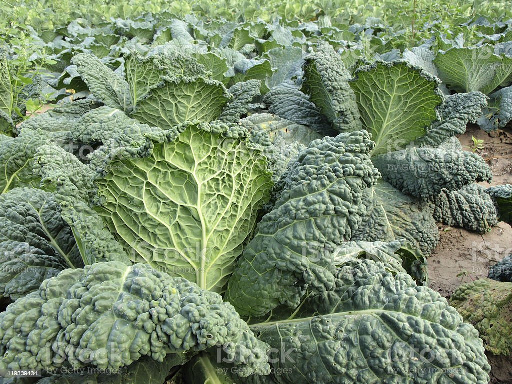 Kale field royalty-free stock photo