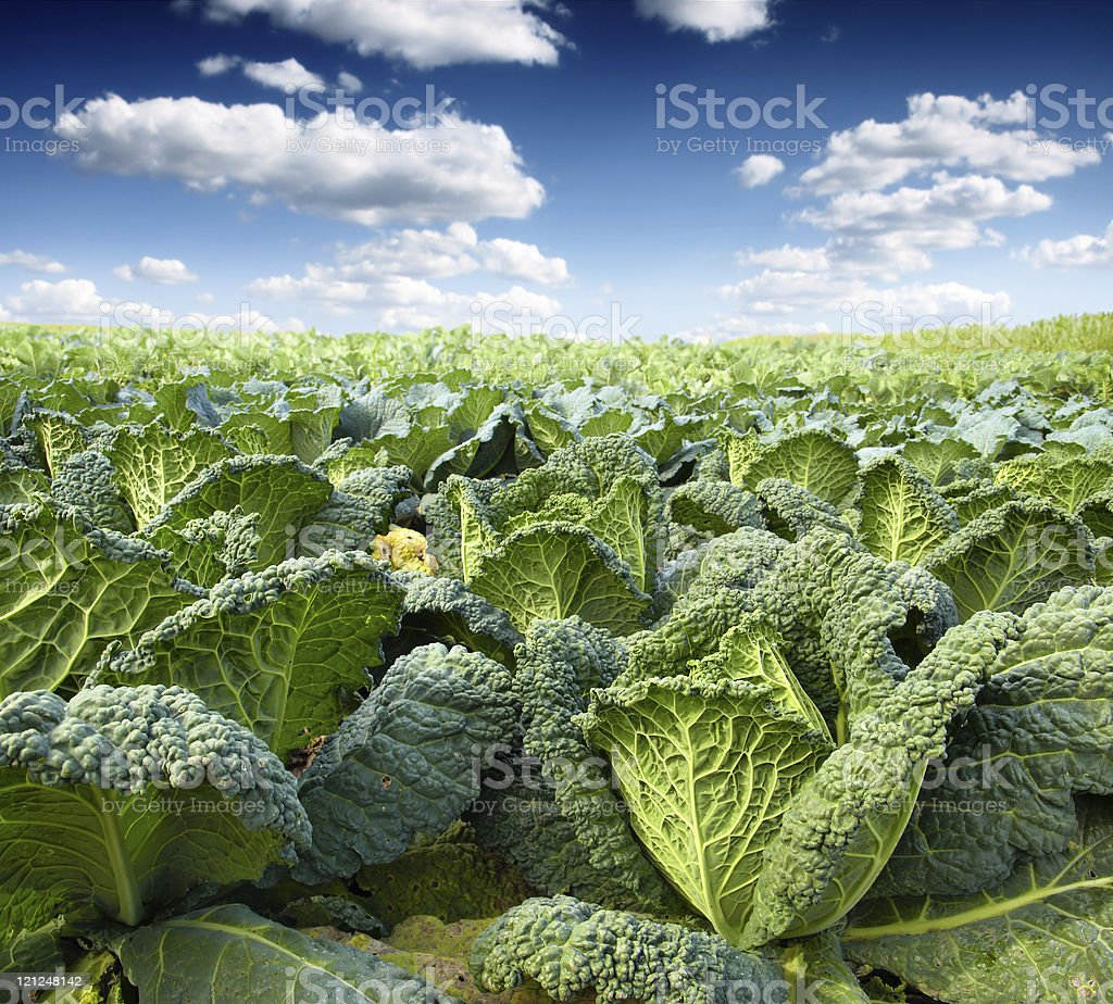 Kale field stock photo
