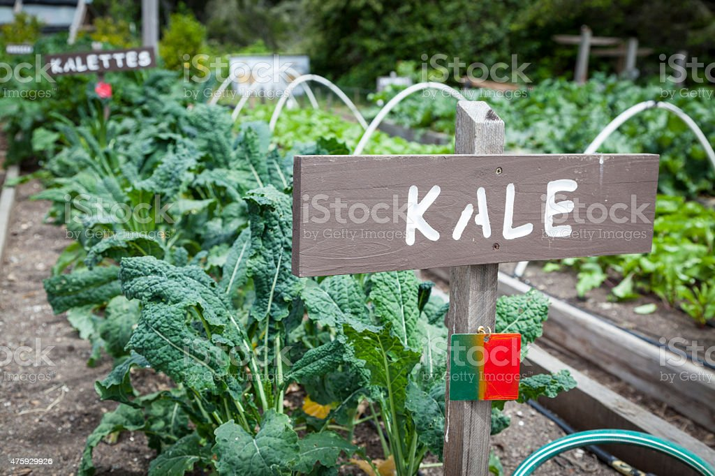 Kale - Growing Vegetables stock photo