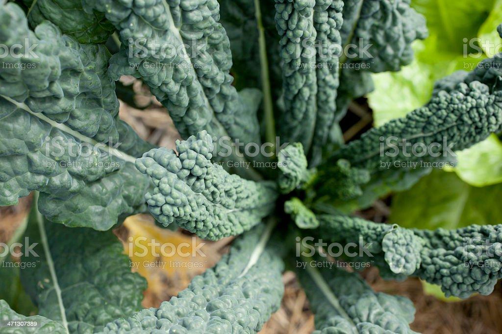 Kale in an Organic Garden stock photo