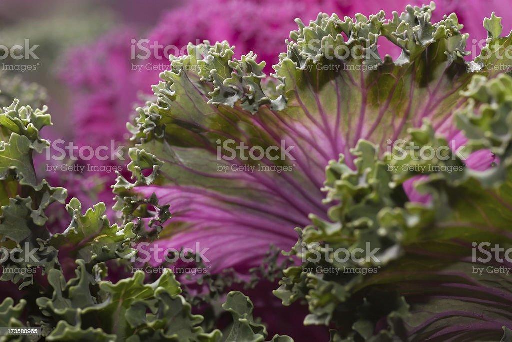 Kale Ornamental Cabbage royalty-free stock photo